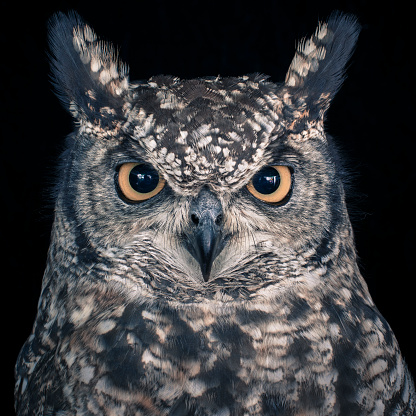 Green Background「Eagle Owl」:スマホ壁紙(0)