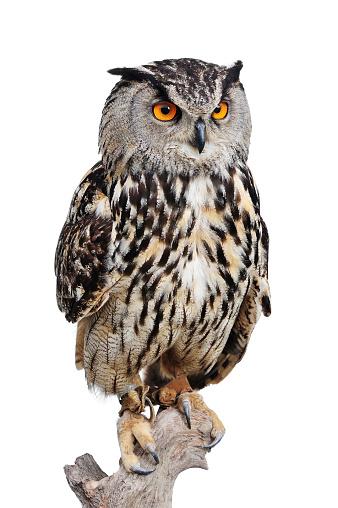 Animal Wildlife「Eagle Owl」:スマホ壁紙(8)