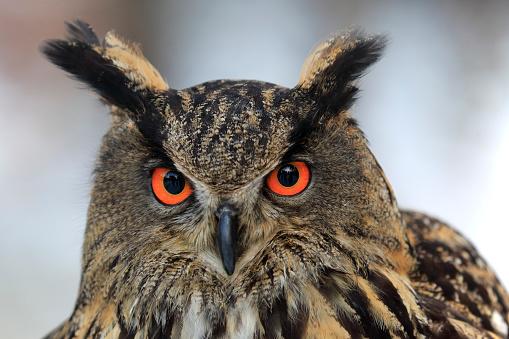 カメラ目線「Eagle Owl, (Bubo bubo)」:スマホ壁紙(6)
