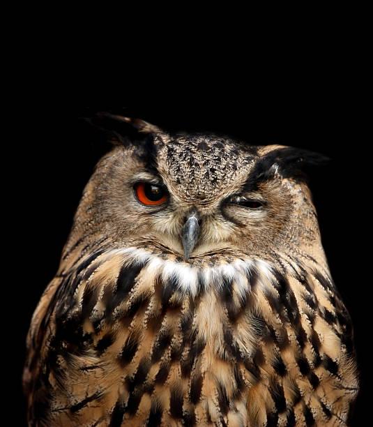 eagle owl:スマホ壁紙(壁紙.com)