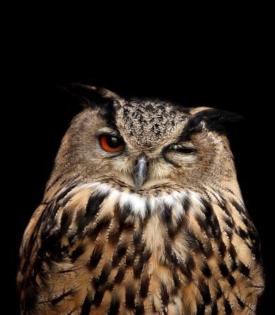 Animal Eye「eagle owl」:スマホ壁紙(16)