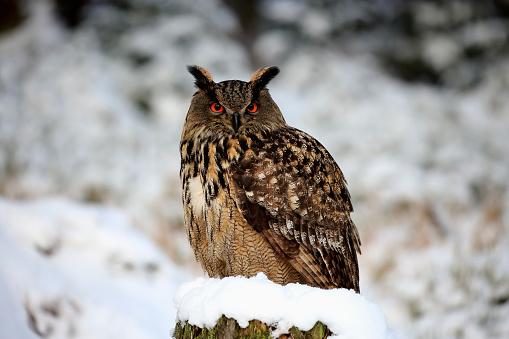 カメラ目線「Eagle Owl, (Bubo bubo)」:スマホ壁紙(7)