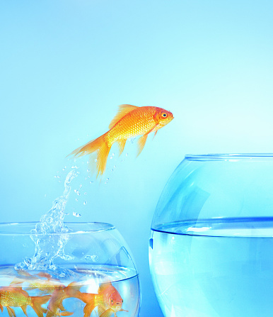 Refugee「Goldfish jumps from small crowded bowl to large empty one」:スマホ壁紙(17)