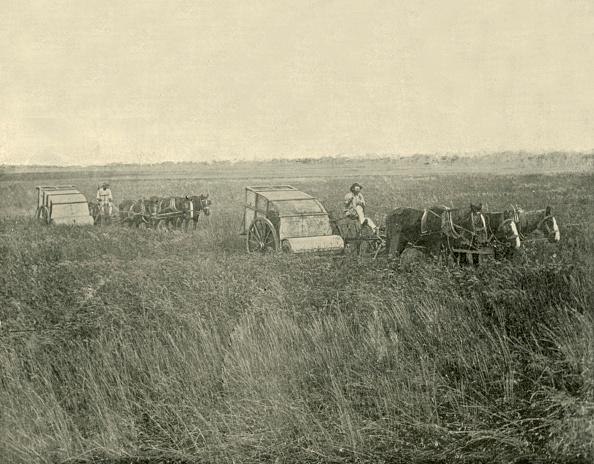 Grass Family「Stripping Wheat」:写真・画像(10)[壁紙.com]