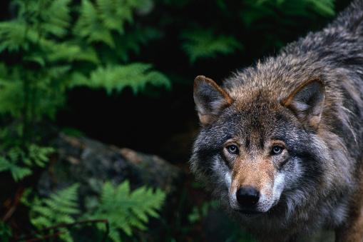 Animals Hunting「Alert Grey Wolf Hunting」:スマホ壁紙(17)