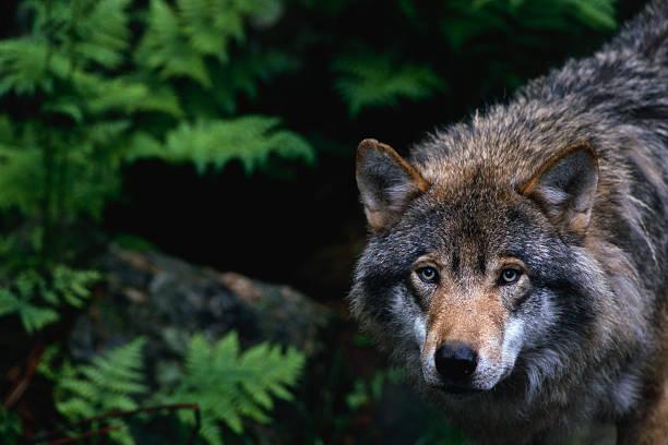 Alert Grey Wolf Hunting:スマホ壁紙(壁紙.com)