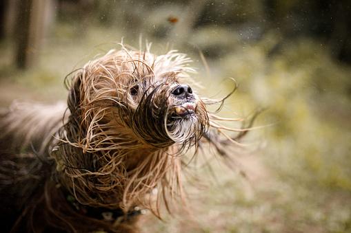 Mixed-Breed Dog「Dog shaking his wet hair」:スマホ壁紙(5)