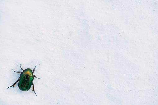 カブトムシ亜科「Shiny green beetle on a white wall」:スマホ壁紙(18)
