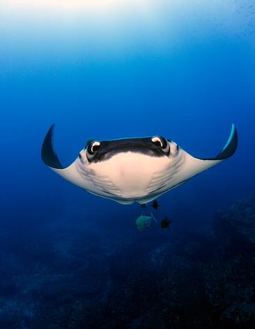 Manta「Giant Oceanic Manta Ray swimming underwater, San Benedicto, Revillagigedo Islands, Mexico」:スマホ壁紙(12)