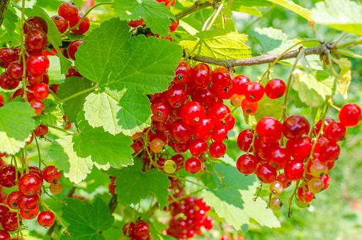 Currant「Red currants on shrub」:スマホ壁紙(13)