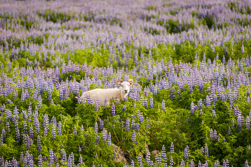 Surrounding「Iceland, sheep in field of lupins」:スマホ壁紙(10)