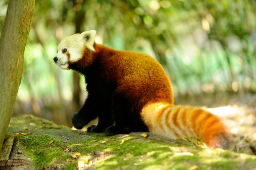 パンダ「Red Panda, Ailurus fulgens」:スマホ壁紙(2)