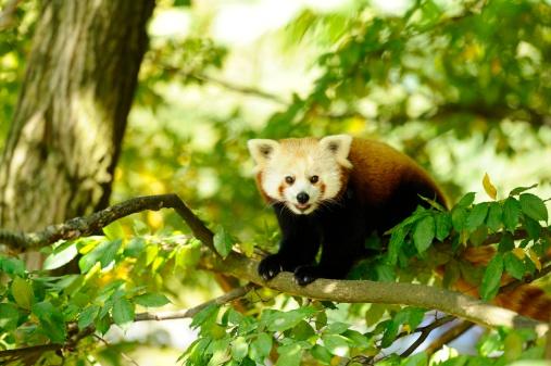パンダ「Red panda, Ailurus fulgens」:スマホ壁紙(4)