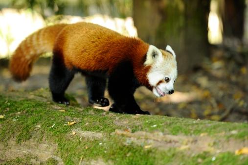 パンダ「Red Panda, Ailurus fulgens」:スマホ壁紙(3)