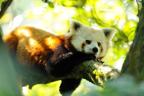 パンダ「Red Panda, Ailurus fulgens」:スマホ壁紙(5)