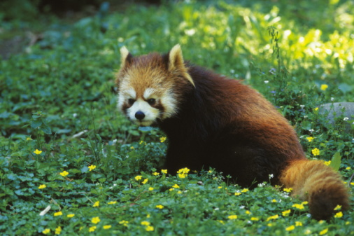 パンダ「Red Panda,  also called the Firefox or Lesser Panda」:スマホ壁紙(12)