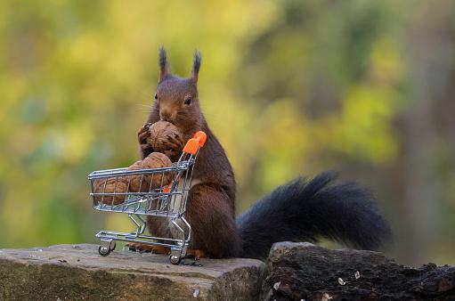Squirrel「Squirrel filling a shopping cart with nuts, Artica, Navarra, Spain」:スマホ壁紙(9)