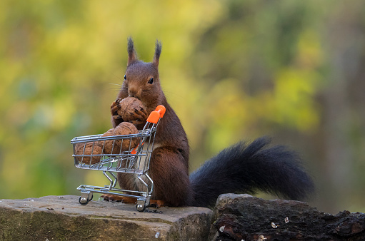 リス「Squirrel filling a shopping cart with nuts, Artica, Navarra, Spain」:スマホ壁紙(8)