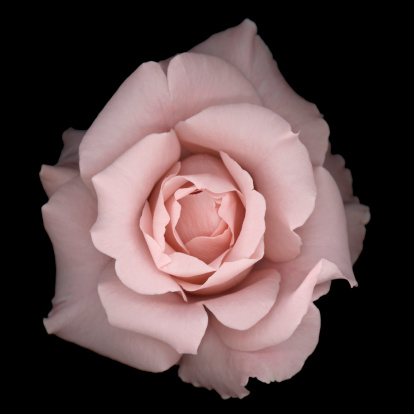 Pastel「Light pink rose on a black background」:スマホ壁紙(11)