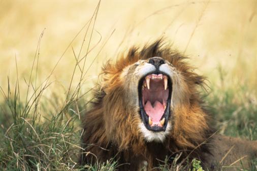 Furious「Lion yawning」:スマホ壁紙(5)
