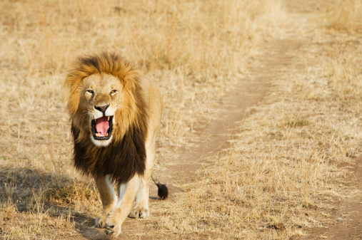 Walking「A Lion Yawning As He Walks Down A Worn Path In A Grass Field In The Maasai Mara National Reserve」:スマホ壁紙(1)
