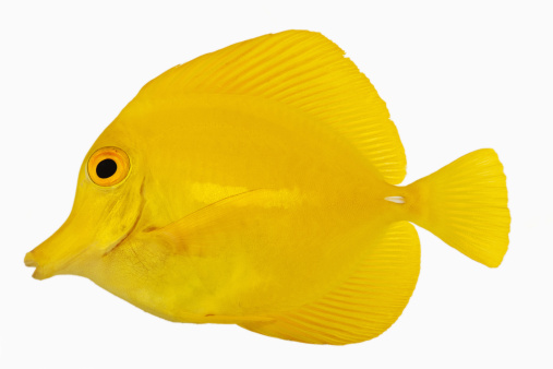 Tropical fish「Yellow tang fish (Zebrasoma flavescens). Also known as Yellow Hawaiian Tang, Yellow Sailfin Tang or Yellow Surgeonfish. Herbivorous tropical marine reef fish. Dist. Central and South Pacific. Studio shot against white background.」:スマホ壁紙(18)
