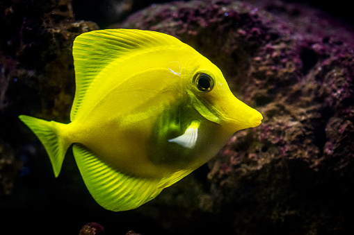 Indian Ocean「Yellow tang - saltwater tropical fish」:スマホ壁紙(14)