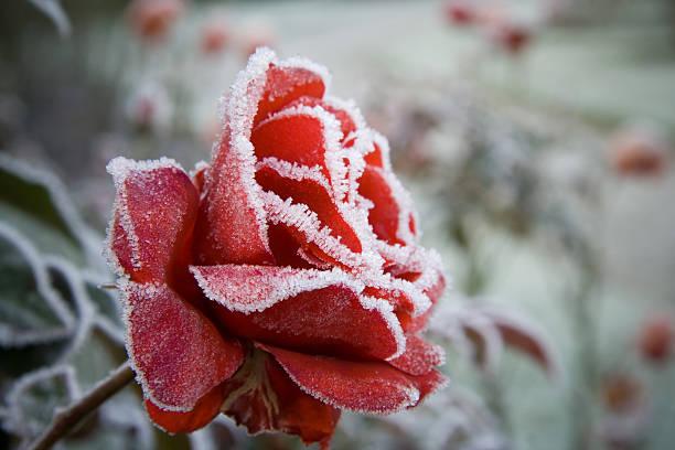 Frosted Red Rose:スマホ壁紙(壁紙.com)