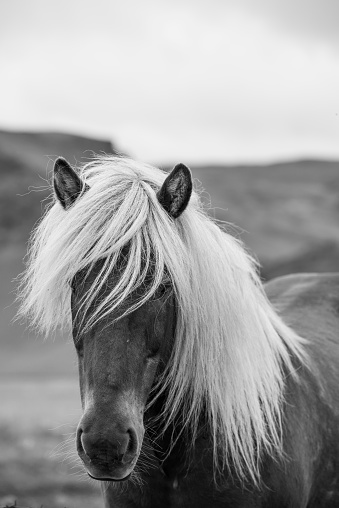Headshot「Dark Icelandic horse with white mane」:スマホ壁紙(1)