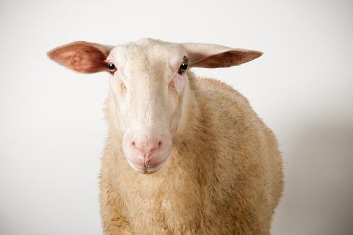 Ewe「Friesland sheep」:スマホ壁紙(4)