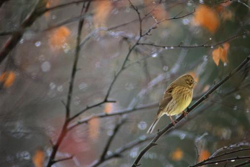 Bunting「Yellowhammer female perched on winter branch in rain」:スマホ壁紙(6)