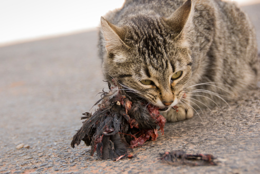 Animals Hunting「Cat Eats Bird」:スマホ壁紙(8)