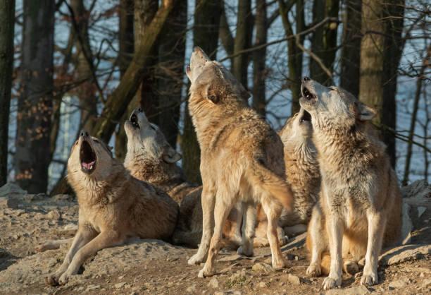 Howling wolf pack:スマホ壁紙(壁紙.com)