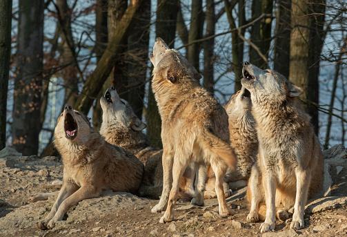 Wolf「Howling wolf pack」:スマホ壁紙(5)