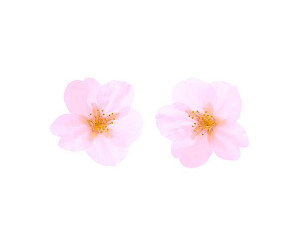 Two Cherry Blossoms:スマホ壁紙(壁紙.com)