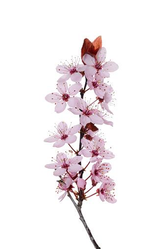 flower「Purple-Leaf Plum (Prunus cerasifera nigra).」:スマホ壁紙(2)