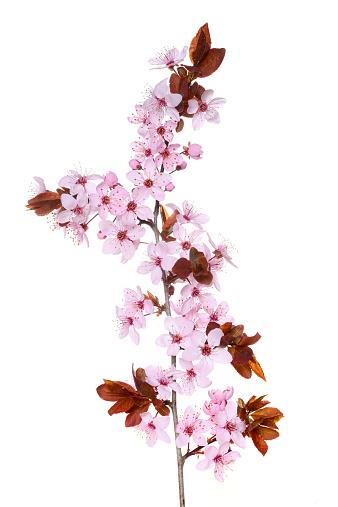 プラムの木「Purple-leaf plum (Prunus cerasifera nigra)」:スマホ壁紙(12)