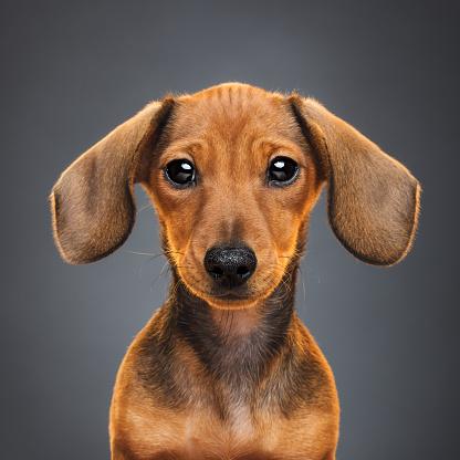Dachshund「Teckel puppy dog portrait」:スマホ壁紙(2)
