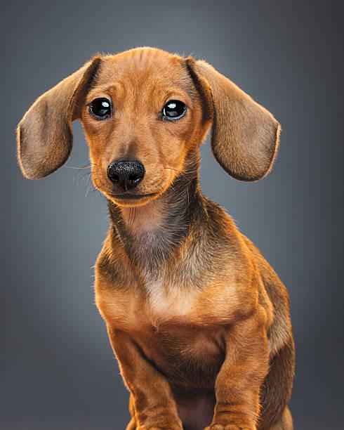 Teckel puppy dog portrait:スマホ壁紙(壁紙.com)