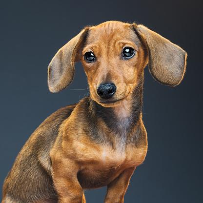 Animal Ear「Teckel puppy dog portrait」:スマホ壁紙(16)