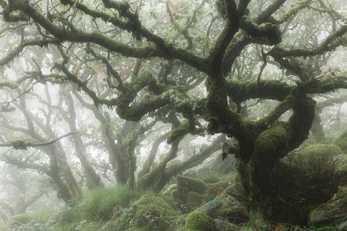 Old Growth Forest「Mist in a forest on Dartmoor, Devon」:スマホ壁紙(14)