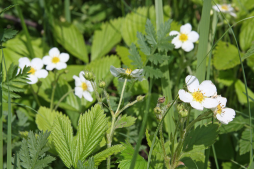 Uncultivated「Close-up of wild strawberry flowers」:スマホ壁紙(15)