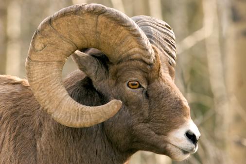 Horned「Close-up of brown bighorn sheep」:スマホ壁紙(7)