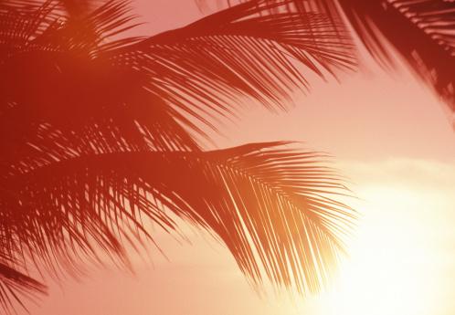 Frond「Close-up of palm fronds at sunset, reddish cast」:スマホ壁紙(13)