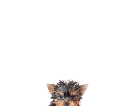 Part of a Series「Close-up of a puppy yorkie dog's face」:スマホ壁紙(11)
