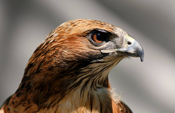 Close-up of a Red Tailed Hawk Buteo Jamaicensis:スマホ壁紙(壁紙.com)