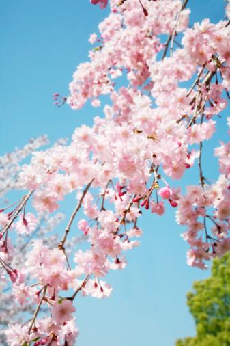 桜「Close-up of cherry blossoms」:スマホ壁紙(15)