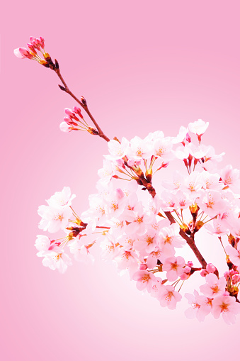 Cherry Blossoms「Close-up of cherry blossoms」:スマホ壁紙(16)