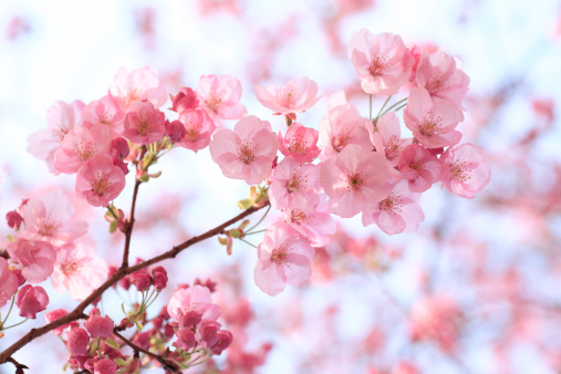 Cherry Blossoms「Close-up of cherry blossoms, Tokyo Prefecture, Honshu, Japan」:スマホ壁紙(7)