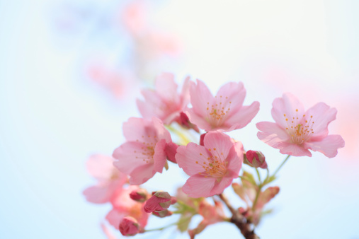Cherry Blossom「Close-up of cherry blossoms, Tokyo Prefecture, Honshu, Japan」:スマホ壁紙(14)